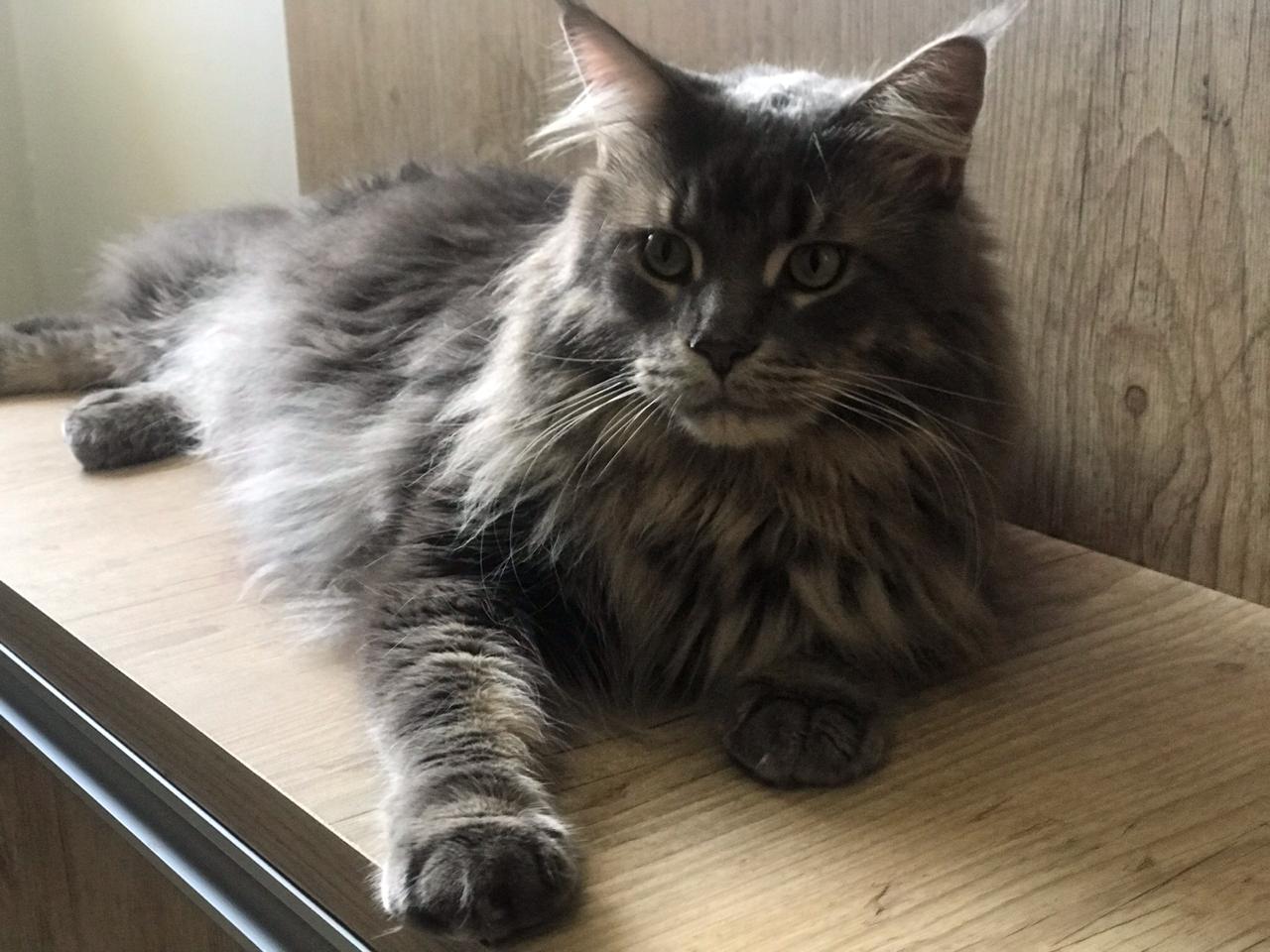 gato - Grávidas não precisam se desfazer dos seus gatinhos temendo toxoplasmose