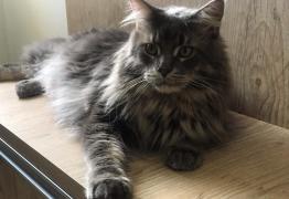 Grávidas não precisam se desfazer dos seus gatinhos temendo toxoplasmose