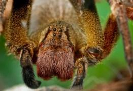 Veneno de aranha brasileira poderá ser usado para criar remédio mais eficaz do que o Viagra