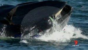xblog whale.jpg.pagespeed.ic .aD5v1HDBhN 300x169 - Mergulhador acaba na boca de baleia, mas consegue escapar