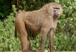 Primatas com pênis menores compensam sendo chamativos e agressivos, diz estudo