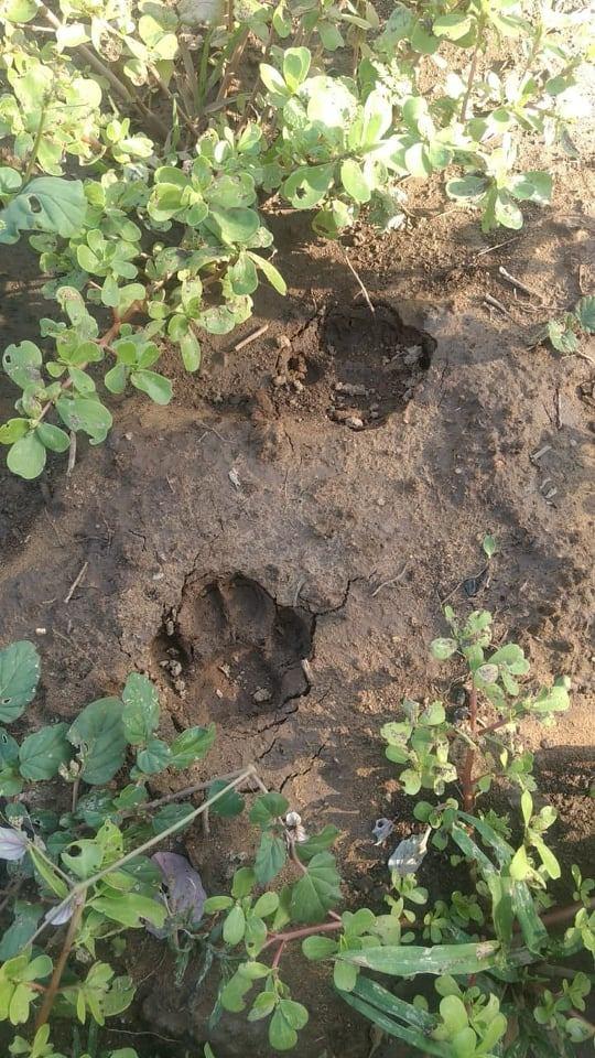 pegada onca 2 - MEDO NO SERTÃO: moradores encontram vestígios de que felino de grande porte estaria atacando caprinos da região