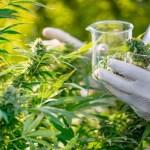 maconha medicinal - CAMPINA GRANDE: Justiça condena homem a seis anos e quatro meses de reclusão por tráfico de drogas