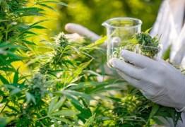 Anvisa aprova propostas que podem liberar cultivo de maconha medicinal
