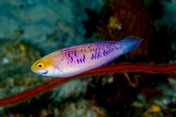 Wakanda vira nome de espécie recém-descoberta de peixe