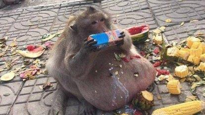 xblog monkey 3.jpg.pagespeed.ic .5 OMABXjV  300x169 - Macaco superobeso desaparece, e veterinários temem que ele tenha se isolado para morrer