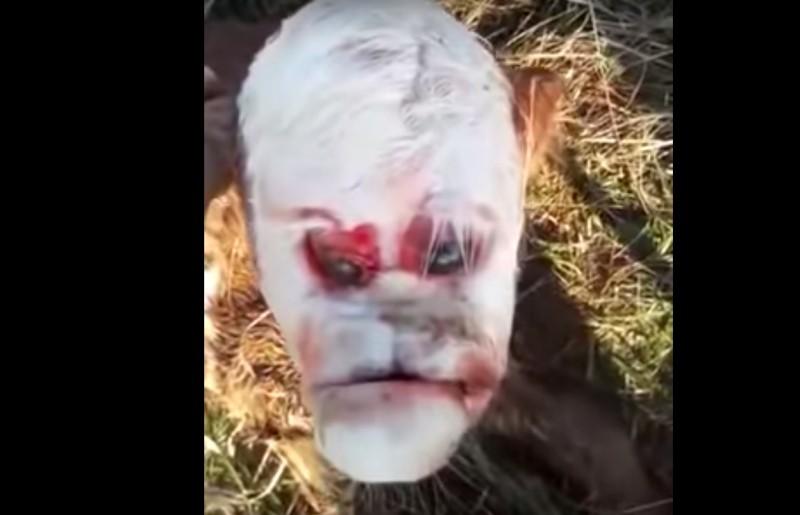 af2ee960 d337 11e9 9bef b990c5174f2d - Bezerro nasce com 'rosto humano' e assusta moradores de vilarejo - VEJA VÍDEO