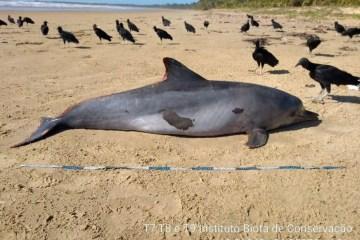 golfinho manchado com oleo e encontrado morto em feliz deserto alagoas  foto divulgacao instituto biota  - Golfinho é primeiro mamífero atingido por óleo a surgir morto em praia de Alagoas