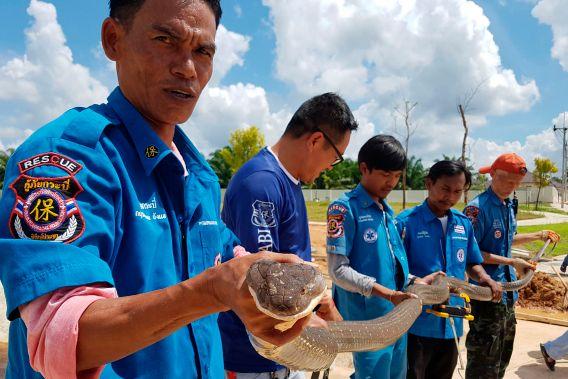 thailand king cobra 01 - Equipe resgata cobra-rei de 15 quilos de dentro de tubulação de esgoto - VEJA VÍDEO