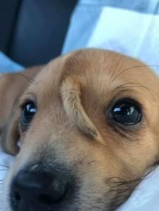 1 cachorro 14255130 226x300 - UNICÓRNIO?! filhote de cachorro com rabo na cabeça viraliza na web