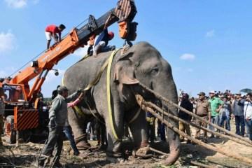 MORTAL: Elefante é capturado após matar cinco pessoas