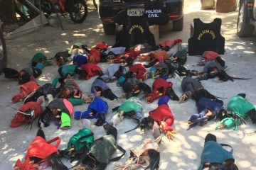 galos - Mais de 40 galos são resgatados e 11 homens são presos suspeitos de participar de rinha