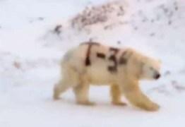 Mensagem misteriosa pintada em urso polar na Rússia alarma pesquisadores – VEJA VÍDEO