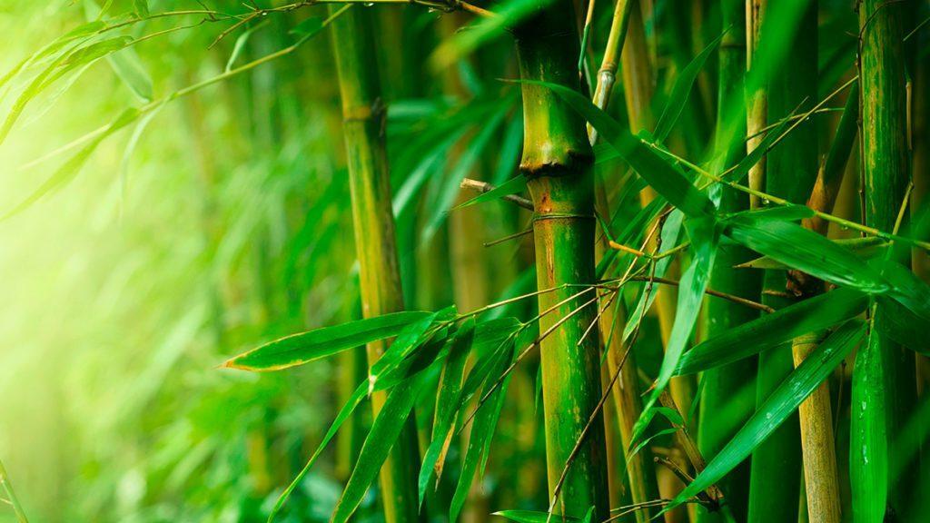 bambu crescimento paisagismo dicas.png 1024x576 - A SABEDORIA DO BAMBU - Por Rui Leitão