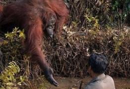 Orangotango estende a mão para 'salvar' homem em rio com cobras