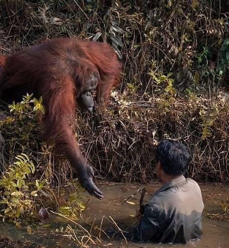 xblog orangutan.jpg.pagespeed.ic .4mXbUhYKVe - Orangotango estende a mão para 'salvar' homem em rio com cobras
