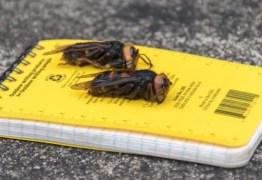 'Se encontrá-las, corra e nos chame!': cientistas nos EUA alertam para chegada de 'vespas assassinas'