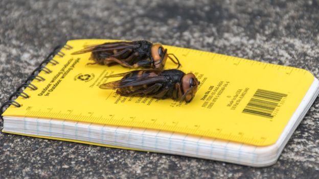 112149134 foto4 washingtonstatedepartmentofagriculture - 'Se encontrá-las, corra e nos chame!': cientistas nos EUA alertam para chegada de 'vespas assassinas'