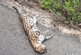 Jaguatirica é encontrada morta em rodovia na Paraíba