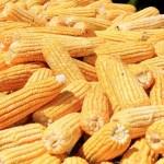 mao de milho custa 25 reais e vendas decepcionam vendedores - Tradicional Feira do Milho da Empasa começa no próximo dia 20 e deve ter sistema drive-thru