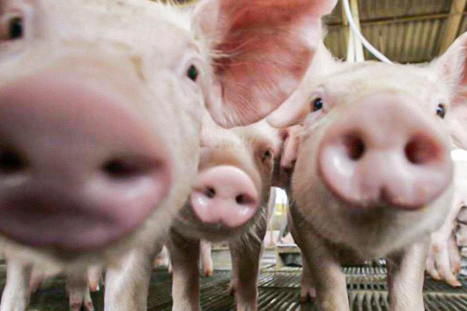 porcos industria suinos 00209927 0 202006291758 - 'Potencial pandêmico': novo vírus da gripe é detectado em porcos na China, dizem cientistas