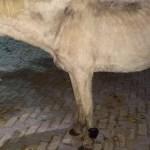 cavalo - INUSITADO: Cavalo é encontrado usando tornozeleira eletrônica - VEJA VÍDEO