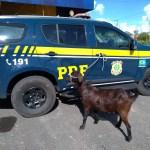 WhatsApp Image 2020 08 15 at 15.40.11 - INUSITADO: casal é preso pela PRF após furtar cabra e fugir com animal em uma moto; VEJA VÍDEO