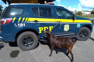 INUSITADO: casal é preso pela PRF após furtar cabra e fugir com animal em uma moto; VEJA VÍDEO