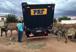 Mais de 1,7 mil animais soltos em rodovias federais da PB foram recolhidos pela PRF em 2020