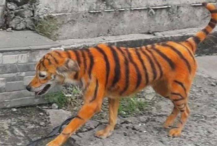 1 cao tigre1 19314425 - Cão é pintado de laranja e preto e fica parecido com um tigre
