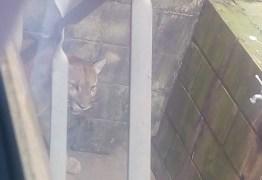 ANIMAL SILVESTRE: Onça é flagrada 'passeando' livremente pelas ruas