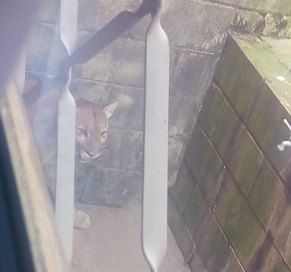 whatsapp image 2020 09 01 at 10.06.04 - ANIMAL SILVESTRE: Onça é flagrada 'passeando' livremente pelas ruas
