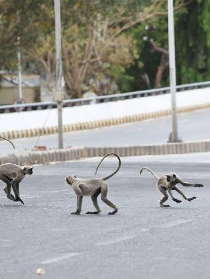 1 macaco 20026171 - Briga entre grupos de macacos mata dois homens na Índia