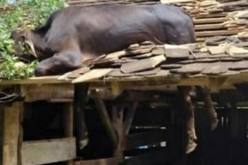 Vaca fica presa em telhado e é salva por bombeiros