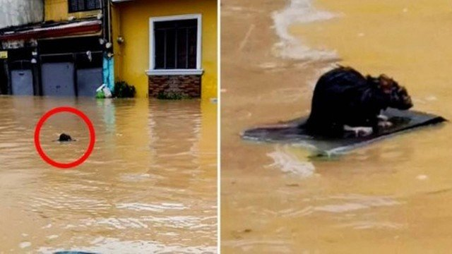 xblog rat.jpg.pagespeed.ic .gDfp1 J2Kf - Rato 'surfista' escapa de enchente provocada por tufão nas Filipinas; VEJA VÍDEO
