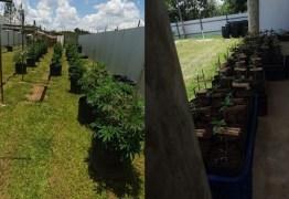 BRASÍLIA: Delegado é preso com plantação de maconha gourmet