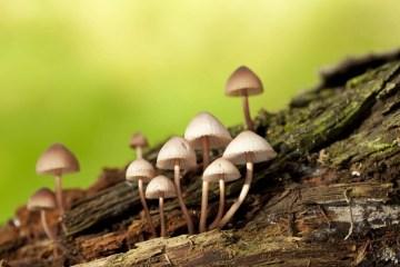 Homem injeta chá de cogumelo na veia, e é internado com fungo crescendo no sangue