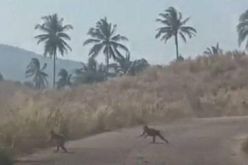Gangue de macacos famintos ataca plantação de milho; VEJA VÍDEO