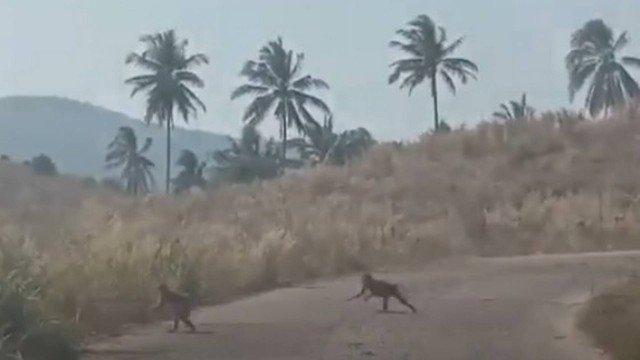 xblog monkeys thai.jpg.pagespeed.ic .OP5PEPJKug - Gangue de macacos famintos ataca plantação de milho; VEJA VÍDEO