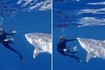 Bióloga mantém a calma e desvia tubarão-tigre com toque suave no nariz – VEJA VÍDEO