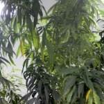 mmm - Após nova decisão da Justiça, associação paraibana volta a cultivar maconha para fins medicinais
