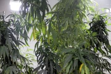 Após nova decisão da Justiça, associação paraibana volta a cultivar maconha para fins medicinais