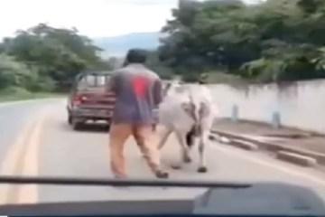 Capturar.JPGol  4 - Motorista flagra homem arrastando boi com corda amarrada em caminhonete