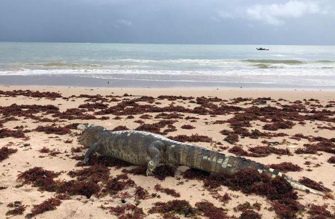 jacc - Jacaré é encontrado morto na praia da Penha, em João Pessoa