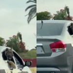 tigre widelg - VIRALIZOU: Carro circula com tigre com a cabeça para fora de janela