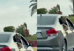 VIRALIZOU: Carro circula com tigre com a cabeça para fora de janela
