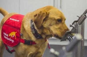 Medical Detection Dogs 2 868x573 1 300x198 - Cães farejadores detectam Covid-19 com 94,3% de precisão, aponta estudo