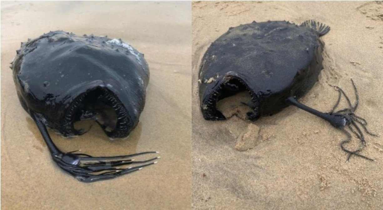 PEIXE ENCONTRADO - ASSUSTADOR! Criatura das profundezas do oceano surpreende ao ser encontrada intacta em praia - VEJA FOTOS