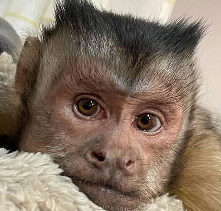 xblog george 1.jpg.pagespeed.ic .ZZD6fzC92h - Macaco que tinha 17 milhões de seguidores morre ao ir a veterinário tratar os dentes