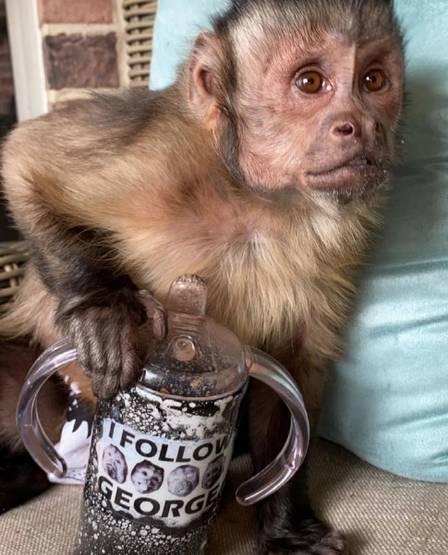 xblog george 3.jpg.pagespeed.ic .i35o6lhfeV - Macaco que tinha 17 milhões de seguidores morre ao ir a veterinário tratar os dentes